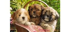 Shih Tzu Wallpaper Dogs And Puppies Chien Shih Tzu, Perro Shih Tzu, Shih Tzu Puppy, Shih Poo, Teddy Bear Puppies, Cute Puppies, Cute Dogs, Dogs And Puppies, Bear Puppy