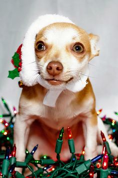 Chihuahua Christmas puppy dog #Holiday #Dogs ! He looks scared lol.