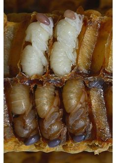 Bee larvae in hive cells