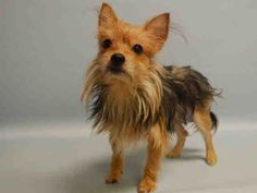 PULLED BY WOOF NYC DOG RESCUE - 08/06/15 - PHOEBE – #A1045989 - Urgent Manhattan - **SAFER:EXPERIENCED HOME** - FEMALE TAN/BLACK YORKSHIRE TERR/CHIHUAHUA SH, 2 Yrs - OWNER SUR - EVALUATE, NO HOLD Reason LLORDPRIVA Intake Date 07/30/15 Due Out 07/30/15CAME IN WITH CHOCOLATE #A1045990 (NOT URGENT)