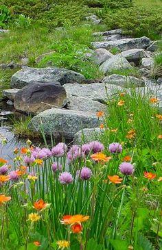 Rila Mountain flower ,Bulgaria