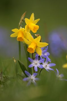 Daffodils and Chionodoxa. I need to plant 1000 chionodoxa this fall.