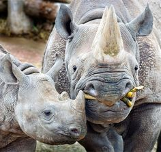 Black Rhino Mother and Baby | ©Steve Wilson
