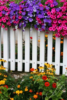 Petunias and a picked fence