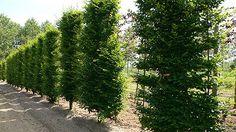 Those Europeans always know how to do this right!   European Hornbeam 'Fastigiata' (Carpinus betulus)