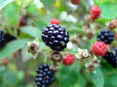 blackberry plant - great article on how to grow blackberries from cuttings. It explains four different ways to do it.