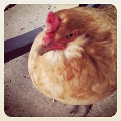 Do chickens give the evil eye?