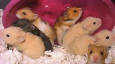 Syrian Hamster Care Sheet