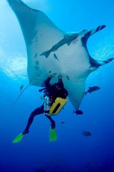 Palau. Manta Ray! they are so incredibly beautiful and smart. WOW!!