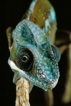 Panther Chameleon by Stephen Dalton