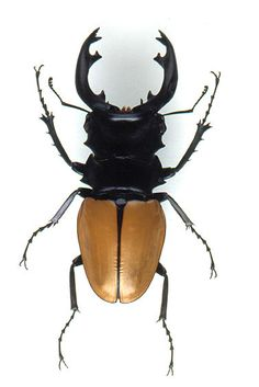 Stag Beetle (Odontolabis mouhoti elegans )  : Geographic Range:Thailand : Male