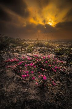 Pink Flowers Desert Sunrise by Luis Lyons on 500px.... #flowers #sunrise #mexico #clouds #desert #puebla #tehuacan #mexicandesert