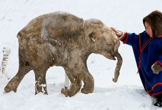 ceb9b015240 Frozen baby Woolly Mammoth. Carbon dating puts this wonder at 42