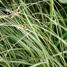 :: Melica uniflora 'Variegata' - Einblütiges Perlgras :: Gräser :: Eher schattige Standorte :: Sommergrüne Gräser - Pflanzenversand Gaissmayer