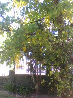 Chuva de ouro ou bolão de ouro , árvore