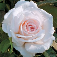 """~""""Clouds of Glory"""" - strong Old Rose fragrance"""