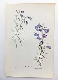 Antique harebell picture | by peonyandthistle
