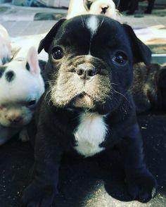 いいね!4,715件、コメント30件 ― D A I L Y  F R E N C H I Eさん(@daily_frenchie)のInstagramアカウント: 「💜 F R A N K I E 💜 Feature of @frankiegirl_frenchie 🐾 . #frenchbulldog #frenchbulldogpuppies…」