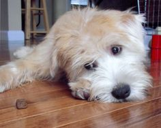 Wheaten Terrier. :)