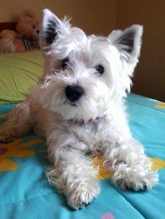 West Highland Terrier !