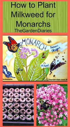 How to start milkweed seeds inside  https://thegardendiaries.wordpress.com/