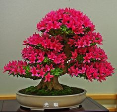 Azalea in full bloom (Rhododendron indicum)