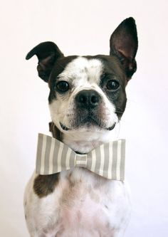 handsome gray striped bowtie...cute pup too.