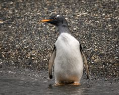 Gentoo Penguin | by alicecahill