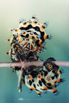 Caterpillar of Eupackardia calleta
