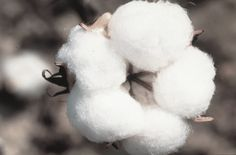 Just like coffee or fine wine, the quality of cotton can vary greatly. That's why we select our cotton with special care and precision. Our fabrics in hand-picked Peruvian Pima cotton guarantee a unique feeling on your skin. #meystory #organiccotton