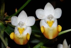 Orchid-Mimicry: Phalaenopsis lobbii from Vietnam - Flickr - Photo Sharing!