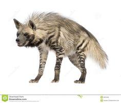 hyène-rayée-hyaena-de-hyaena-6004408.jpg 1'300 × 1'112 pixels