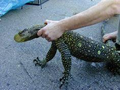 crocodile monitor | Crocodile Monitor