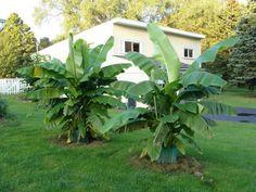 plante exotique intérieur   plante-exotique-bananier-jardin-ensoleillé plante exotique