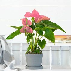 Anthurium plants will bloom all year long - 5 easy to grow houseplants - National Garden Bureau Bright Flowers, Cut Flowers, Pink Flowers, Easy To Grow Houseplants, Perennial Bulbs, Plant Zones, Garden Bulbs, Metal Planters, Day Lilies