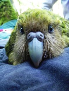 Can you believe there are only 125 of these cuties left in the world?! The Story of the Kakapo - Young Adventuress