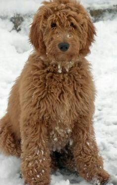 Standard red goldendoodle