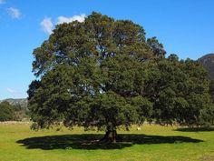 De essentiële olie van ravintsara is een zeer krachtige olie die we oorspronkelijk konden vinden in Madagascar. Ravintsara is een boom die in het regenwoud groeit in Madagascar. De botanische naam luidt Ravensara aromatica. De essentiële olie wordt vooral geprezen als een genezingsolie.