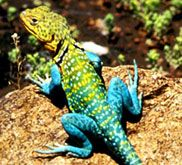Collared Lizard the state reptile also called Mountain Boomer (Crotaphytus colla… - Animals and Pet Supplies 2020 Colorful Lizards, Travel Oklahoma, Reptiles And Amphibians, S Girls, Family History, Animals And Pets, Pet Supplies, Favorite Color, Collars