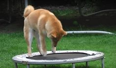 All hail the cult status of the Shiba Inu   MNN - Mother Nature Network