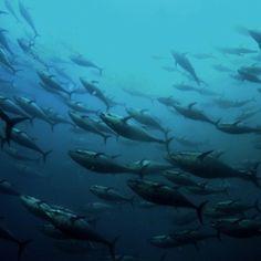 Tell Amazon: Stop Selling Bluefin Tuna