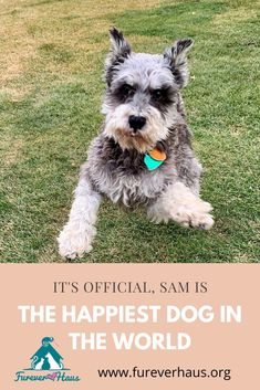 Sam came to us sad and depressed over the loss of his person.  But after just a few days Sammy became the happiest dog in the world.