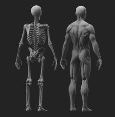 Hey guys, here& my latest anatomy study, sculpted and rendered fully in Zbrush. Final images were composed in Photoshop~~ Head Anatomy, Body Anatomy, Anatomy Study, Anatomy Art, Anatomy Drawing, Anatomy Reference, Pose Reference, Anatomy Sculpture, Human Body Organs