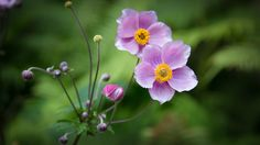 Anemone hupehensis vel japonica by Michael Weidemann - Photo 165818403 - 500px