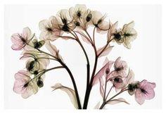 Hellebore 2 art print at Botany Bay Art