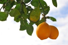 WINTER TIPS - Growing a Meyer lemon tree in garden pots is surprisingly easy. Get the tips needed to grow this citrus tree that bears fruit and fragrant blossoms. Citrus Trees, Fruit Trees, Edible Garden, Garden Pots, Garden Ideas, Organic Gardening, Gardening Tips, Kitchen Gardening, Lemon Plant