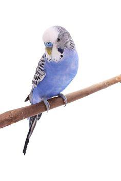 Ein hübscher hübscher hübscher Bubi bist du! Dein schönes blaues Gefieder besticht in allem!