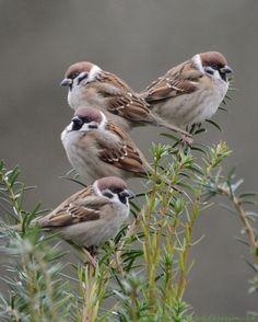 Eurasian Tree Sparrow by Little Birds, Love Birds, Beautiful Birds, Types Of Sparrows, Animals And Pets, Cute Animals, Sparrow Bird, Backyard Birds, Bird Drawings