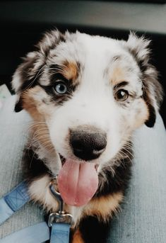 See more of relatablemoods's content on VSCO. Cute Funny Animals, Cute Baby Animals, Animals And Pets, Cute Dogs And Puppies, I Love Dogs, Doggies, Bleu Merle, Australian Shepherd Dogs, Cute Animal Pictures