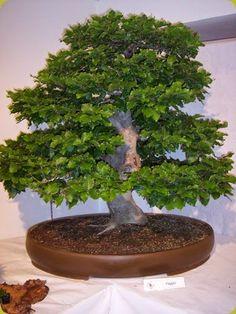 La coltivazione del faggio a bonsai è particolarmente indicata, soprattutto nello stile a bosco. Ficus, Houseplants, Landscape, Gardening, Bonsai Trees, Nirvana, Passion, Japan, Inspiration